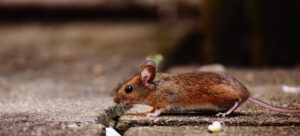 muizen bestrijden rotterdam